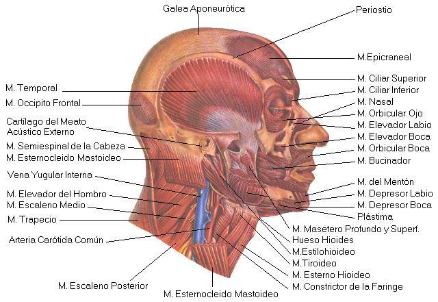 Músculos de la cabeza 1